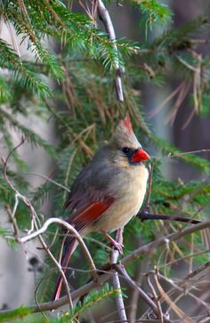 Female Cardinal @ F.A. Seiberling Nature Realm, Akron, OH, photo by volunteer Bob Roach