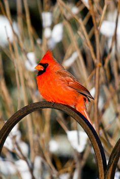 Northern Cardinal perched on top of the bird feeder before the winter storm came to Grand Rapids