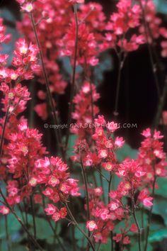 Heuchera 'Magic Wand' in flower