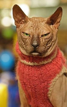 THIS poor creature! Designed for allergic people, who will not accept to life without pets - and then stucked in a woolen sweater! How painful may that be for a hairless cat? Is this HUMAN?