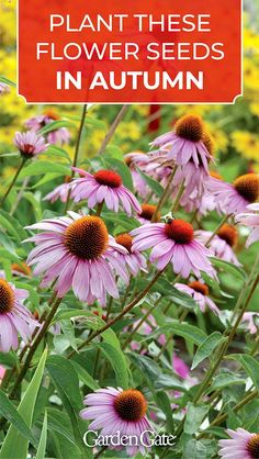 Perennial seeds to plant in fall - Perennial seeds to plant in fall Plants & Gardening Plant these flower seeds in late fall - Planting Flowers From Seeds, Growing Flowers, Flower Seeds, Planting Succulents, Autumn Flowering Plants, Fall Plants, Garden Plants, Indoor Plants, Fall Perennials
