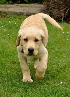 Mind Blowing Facts About Labrador Retrievers And Ideas. Amazing Facts About Labrador Retrievers And Ideas. Labrador Puppy Training, Puppy Training Tips, Cute Puppies, Cute Dogs, Dogs And Puppies, Doggies, Perro Labrador Retriever, Labrador Dogs, Retriever Puppy