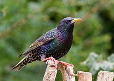 Starling - Chair Hide Review by Ashley Cohen Photography on Flickr.Via Flickr: Decided due to the threat of rain today to take my Chair hide...