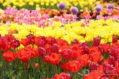 고양시 일산 호수공원, 고양국제꽃박람회 5월 11일까지 [포토] #flower #Infographic ⓒ 비주얼다이브 무단 복사·전재·재배포