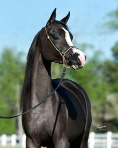 Beautiful Arabian Horses, All About Horses, All The Pretty Horses, Cute Little Animals, Horse Pictures, Horse Breeds, Animals Of The World, Zebras, Belle Photo