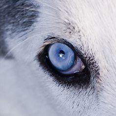 У якої породи собак блакитні очі? хаски! Собаки хаскі відомі своїми блакитними очима. Теж досить часто у них проявляється гетерохромія - колірна різниця між лівим і правим оком, що є результатом відносного надлишку меланіну.