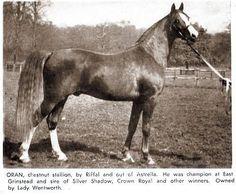 """ ORAN 1940 Chestnut Stallion (Riffal x Astrella)"