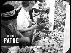 """'THE FLOWER HARVEST - IN CORNWALL' (1927)   British Pathe: '""""Work in the breeze - work in the sun - all for Eve - for """"her"""" eyes are those which light up with the brightness of these flowers - """"'     ✫ღ⊰n"""