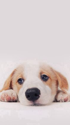 Cute Puppy Dog Pet IPhone 5s Wallpaper