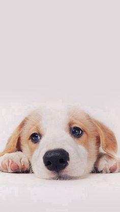 Cute Puppy Dog Pet #iPhone #5s #wallpaper