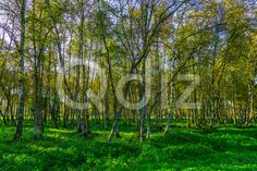 Qdiz Stock Photos | Colorful Autumn Birch Grove,  #autumn #background #bark #beautiful #beauty #birch #birchwood #black #branch #bright #colorful #day #environment #flora #foliage #forest #freshness #grass #green #grove #landscape #leaf #leaves #life #light #lush #morning #multicolored #natural #nature #nobody #outdoor #outdoors #park #pattern #plant #scenic #season #sunlight #sunny #tree #trunk #white #wild #wood #woodland