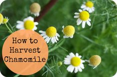 how to harvest chamomile - when to harvest, how to harvest and how to dry chamomile.  #garden #summer