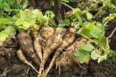How to Grow Parsnips {Start to Finish}