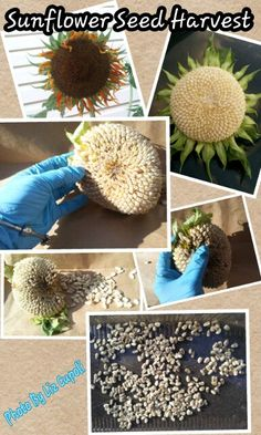 harvest your sunflower seeds for next year in 5 easy steps, flowers, gardening, Harvest Your Sun Flower Seeds Very Easily In 5 EASY STEPS
