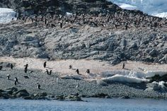 A rookery of Adelie penguins near Palmer Station, Antarctica. Photograph By: Peter Rejcek, National Science Foundation