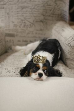 A real King Cavalier