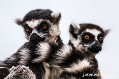 Ring tailed lemur pair.   See the rest of my wildlife images in full size by clicking on the thumbnail.  They are also available to buy in a variety for formats or as a digital download without the watermark. #lemur #ringtailedlemur