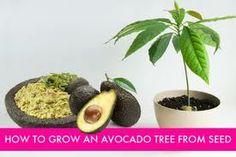 die besten 25 advocado pflanze ideen auf pinterest einfache pflanzen zum anbauen avocado. Black Bedroom Furniture Sets. Home Design Ideas
