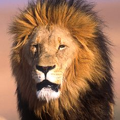 Cecil's death can't be in vain - tell the U.S. to ban lion trophies.  PLEASE, WHILE THE MOMENTUM IS STRONG, SAVE OUR WILDLIFE BEFORE IT'S TOO DAMN LATE.  Cecil had to be SLAUGHTERED for people to WAKE UP!  (love to Cecil)