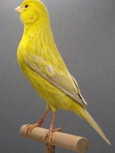 White Bird Tattoos, Black Bird Tattoo, Tropical Birds, Colorful Birds, Small Birds, Pet Birds, Bird Tattoo Sleeves, Canary Birds, Black And White Birds