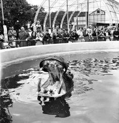 BELLE VUE: Nicholas the Hippo at Belle Vue, Manchester