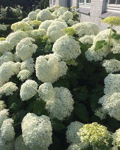 💯❤️ White Flowers  #hortensia #hortensiaannabelle #hydrangea #mygarden #garden