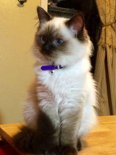 Barsadoll's Gourmet Truffles @ 16 weeks - Seal colorpoint Ragdoll kitten