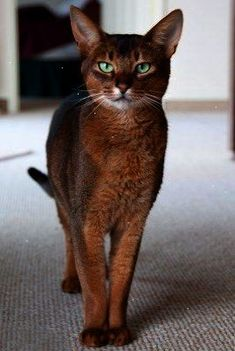 Abyssinian Cat - a friend of mine had a male Abby named Simon that was so strong it had pecs... also survived a fall from a 4th story apt window and after that whenever he didn't want to be in side...he JUMPED from the 4th floor... amazing breed really sb