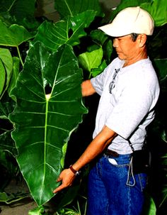 Philodendron maximum, Philodendron maximum K. Krause, One of the largest Philodendron species, Exotic Rainforest rare tropical plants