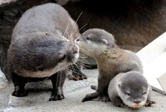 Adorable baby otters with mommy : - ) One of my fav animals.