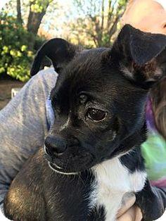 Verona, NJ - Boston Terrier Mix. Meet Sassafras, a puppy for adoption. http://www.adoptapet.com/pet/12642553-verona-new-jersey-boston-terrier-mix