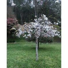 【megdixon1995】さんのInstagramをピンしています。 《Cherry 🍒 Blossom #cherryblossom #cherry #cherryblossoms #cherrytree #cherryflowers #cherryflower #flower #blossom #plants #pretty #hotweather #plantlife #gardens #gardenstyle #gardening #whiteflowers #green》