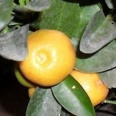 this article now at http://www.wizzley.com/calamondin-recipes
