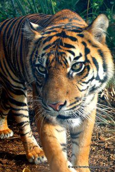 A magnificent Sumatran tiger Australia Travel, Sydney Australia, Stuff To Do, Things To Do, Trip Planning, Briefs, Bucket, Australia, Things To Make