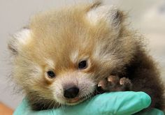 A baby Red Panda born on June 9 at the Sacramento Zoo is thriving under the constant care of his zoo keepers.  See more photos at ZooBorns.com and at http://www.zooborns.com/zooborns/2013/08/update-sacramento-zoos-red-panda-thriving.html