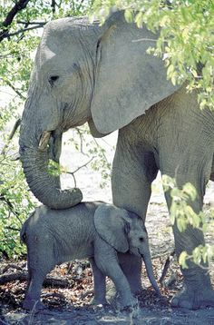 Elephants are so tactile, they are always touching…not just their babys, but each other, too!