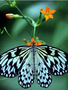 Butterflies are one of nature's most beautiful insects. Let us know what colours you see if you come across a butterfly Butterfly Kisses, Butterfly Flowers, Butterfly Wings, Blue Butterfly, Butterfly Photos, Orange Flowers, Butterfly Chrysalis, Butterfly Species, Butterfly Weed