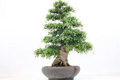 Azalea flowering bonsai tree available from All Things Bonsai, Sheffield, Yorkshire