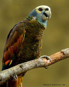 St. Vincent Amazon (Amazona guildingii) endemic to the forested mountains of Saint Vincent, Lesser Antilles