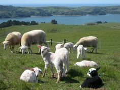 Barinaga Ranch: Excellent Basque Cheese From Marin - SFoodie