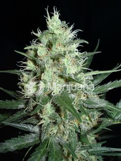 Buy Super Nova Feminized seeds online at the Marijuana Seedshop. Yield up to 400 grams a square meter! Super Nova Feminized marijuana seeds are 75% Indica and 25% Sativa. Super Nova Feminized buds will have eventually 25% THC and 0.45% CBD. these Super Nova Feminized seeds has a flowering time of 9 weeks.