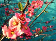 CHERRY BLOSSOM Photo:  This Photo was uploaded by jreneagonzalez. Find other CHERRY BLOSSOM pictures and photos or upload your own with Photobucket free ...