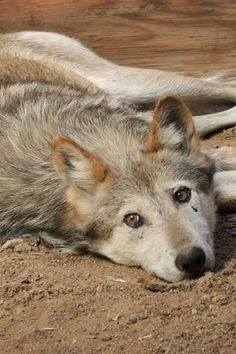 Let Me Hunt. Let Me Play. Let Me Be. Save the Wolves. Save Our Planet.
