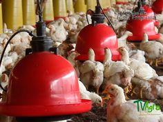El Campo La Gran Empresa: Avicultura, el pollo de engorde.