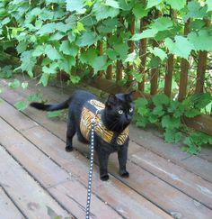 cat harness photos
