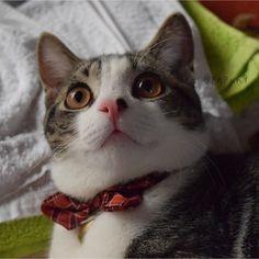 ボ、ボクはタオルが好きなんだなぁ~( *˙꒳˙* )💖 . . おめめくりくりで可愛さが神ってるむぎちゃん🐱💓✨✨✨ @mugi_amae ちゃん❤から#eyeslikechristmaslights のバトンを頂きました💝😽🎶 クリスマスのイルミネーションみたいな瞳?✨ もうちょっとかな~って思いつつこのちょこたろーが可愛かったので( ᵔᵒᵔ )❤ タグ付けもさせてもらいました🎶 もし良かったらやってみて下さい💖 スルーもOKです✨✨ . . いつも洗いたてのものが好きでこの時もタオルに寄りかかってるちょこたろー🐈🎶 これは#過去pic で#生後6ヶ月 なんだけど 既に大福の兆しあり……ฅ=͟͟͞͞((꒪∆꒪;)ฅ #十八番祭 #1い8なニャン祭 に行っちゃおう😆💕…