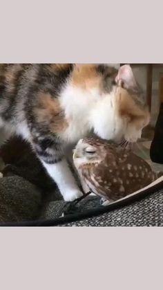 Cute Little Animals, Cute Funny Animals, Funny Cats, Funny Cat Videos, Cute Animal Pictures, Cat Tattoo, Cat Breeds, Cat Memes, Cat Love