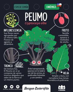 Peumo , Cryptocarya alba #flora #floranima #bosqueesclerofilo #esclerofilo #sclerophyll #peumo #infografia #infographic