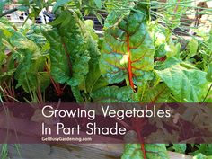 There are several types of vegetables that will grow well in part shade. Here is a list of vegetables to grow if your garden is shady.