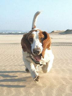 I don't think I've ever seen a cuter basset hound. Look at that smile and those eyes!! Aww.